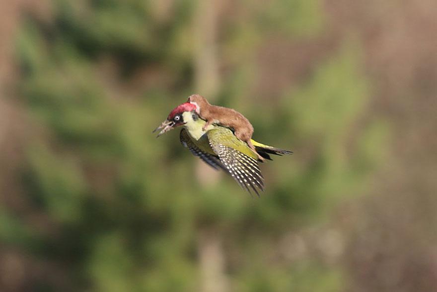 Weasel riding Woodpecker