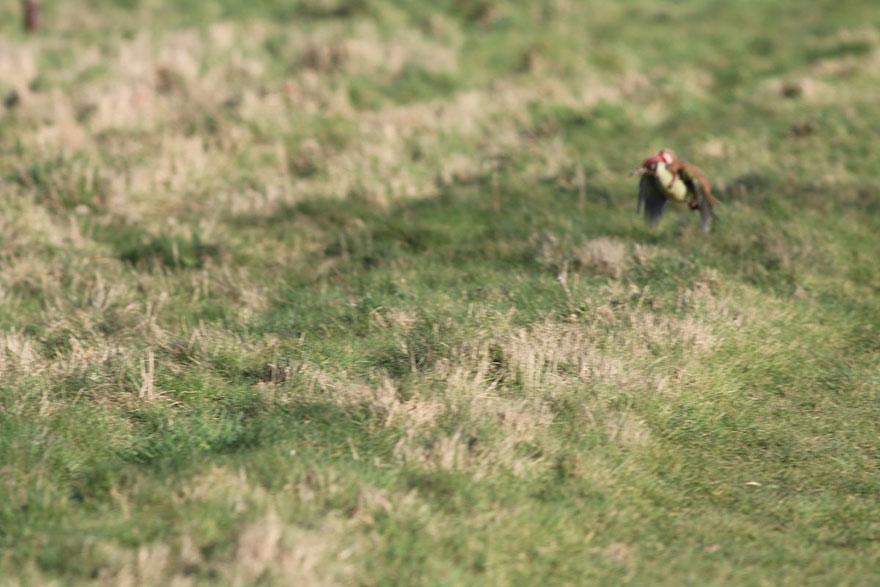 Weasel riding Woodpecker2