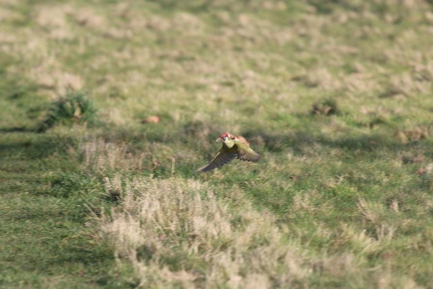 Weasel riding Woodpecker3
