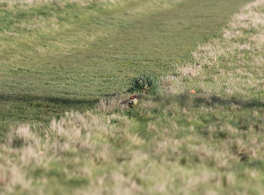 Weasel riding Woodpecker4
